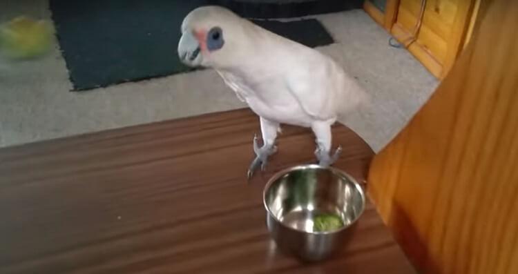 Хозяйка дала попугаю брокколи на обед. Реакция птички была неожиданной!