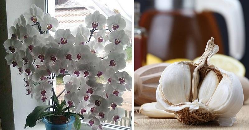 Ваши орхидеи спасет обыкновенный чеснок! Это невероятно!