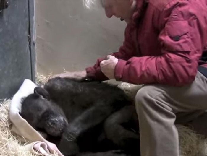 59-летняя умирающая шимпанзе ничего не ела, но она услышала голос своего старого друга