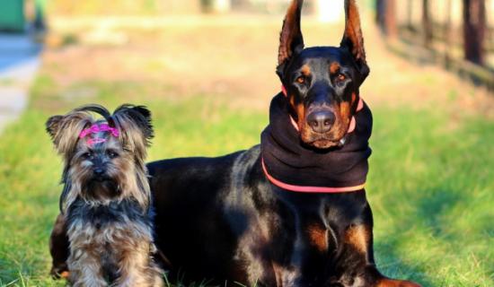 История про доблестного и бесстрашного защитника мелких пород собак…