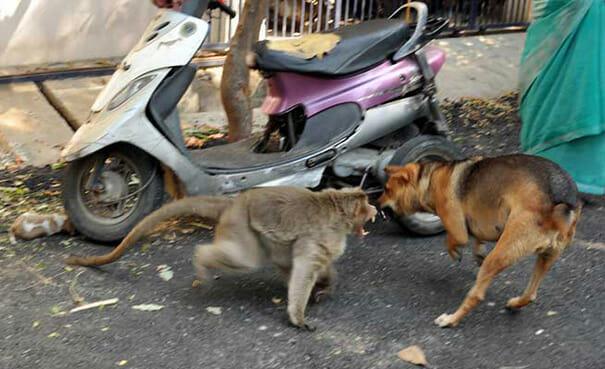 Обезьяна похищает щенка на улице и убегает, и никто не может угадать причину этого поступка.