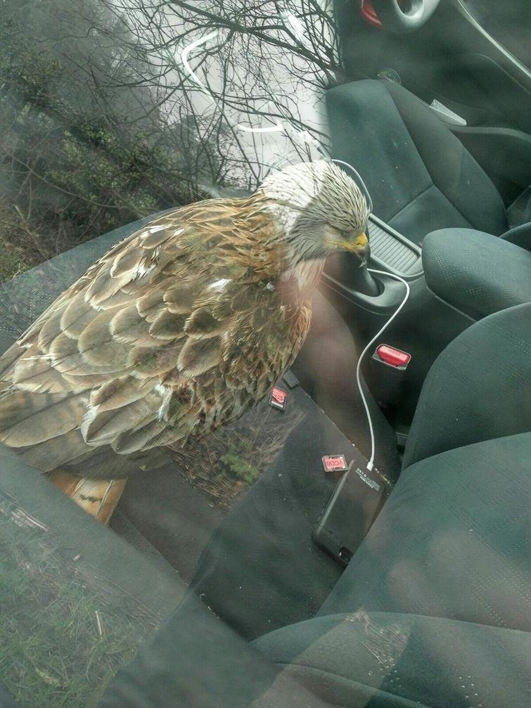 Парень спас раненную птицу, положив её в машину, и очень об этом пожалел