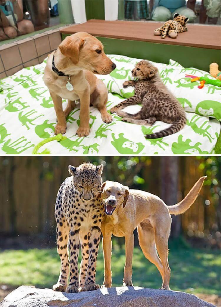 Трогательные фото «До и После» животных, выросших вместе
