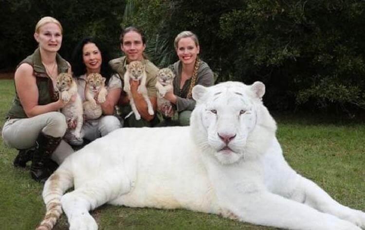 У белого льва и белой тигрицы родились детеныши. И они просто потрясающе прекрасные! (10 фото)