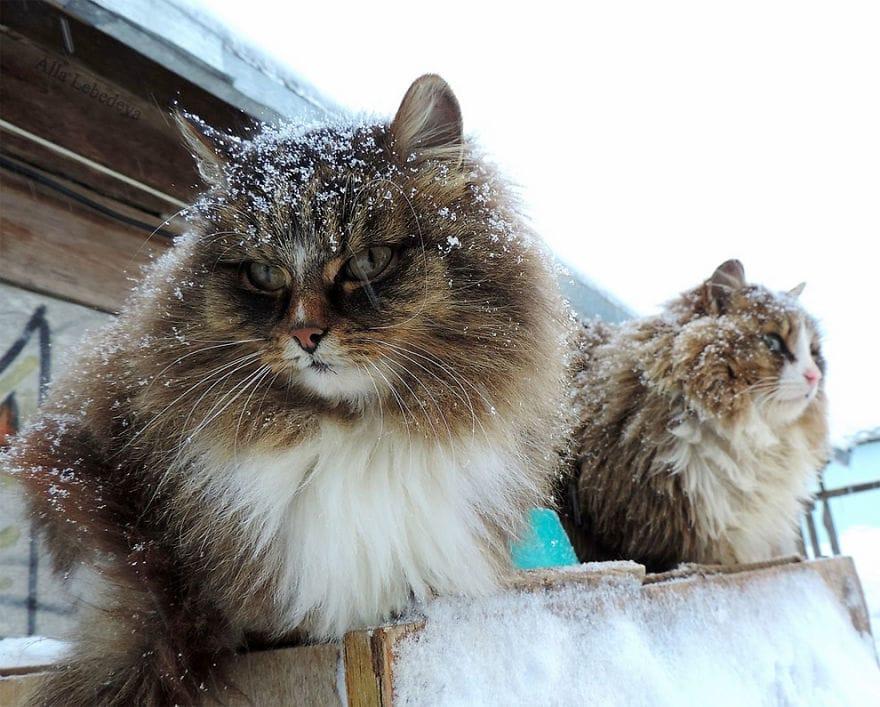 Эта дама разводит котов, когда Вы увидите этих красавцев, то полюбите их с первого взгляда!