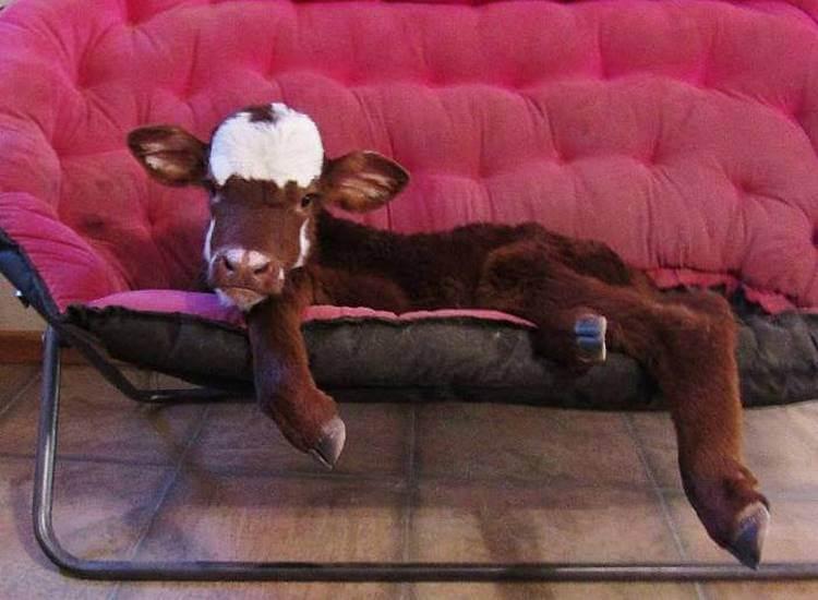 Спасенная корова живет в доме с 12 собаками и думает, что она такая же как они!