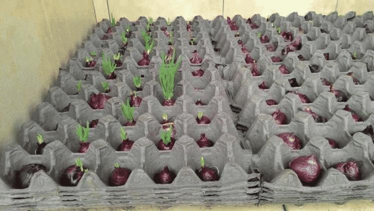 Интересный способ выращивания лука.