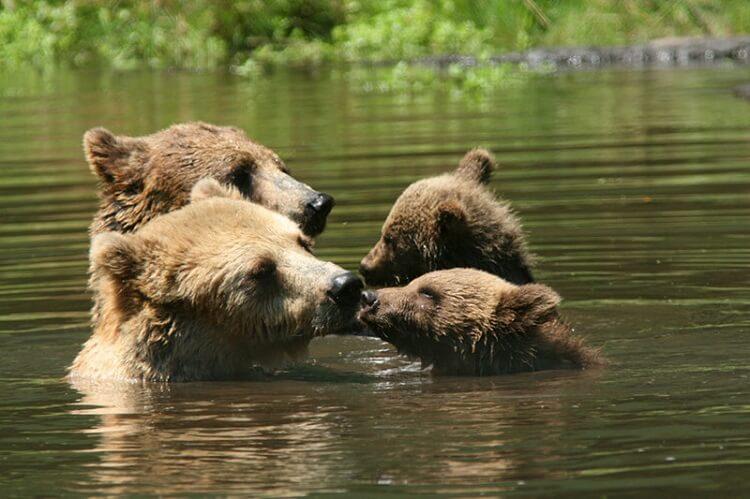 Самые трогательные мамы-медведицы и их медвежата