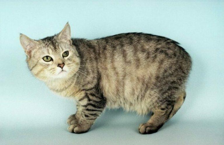 Породы котов, которые могут прожить долгую жизнь