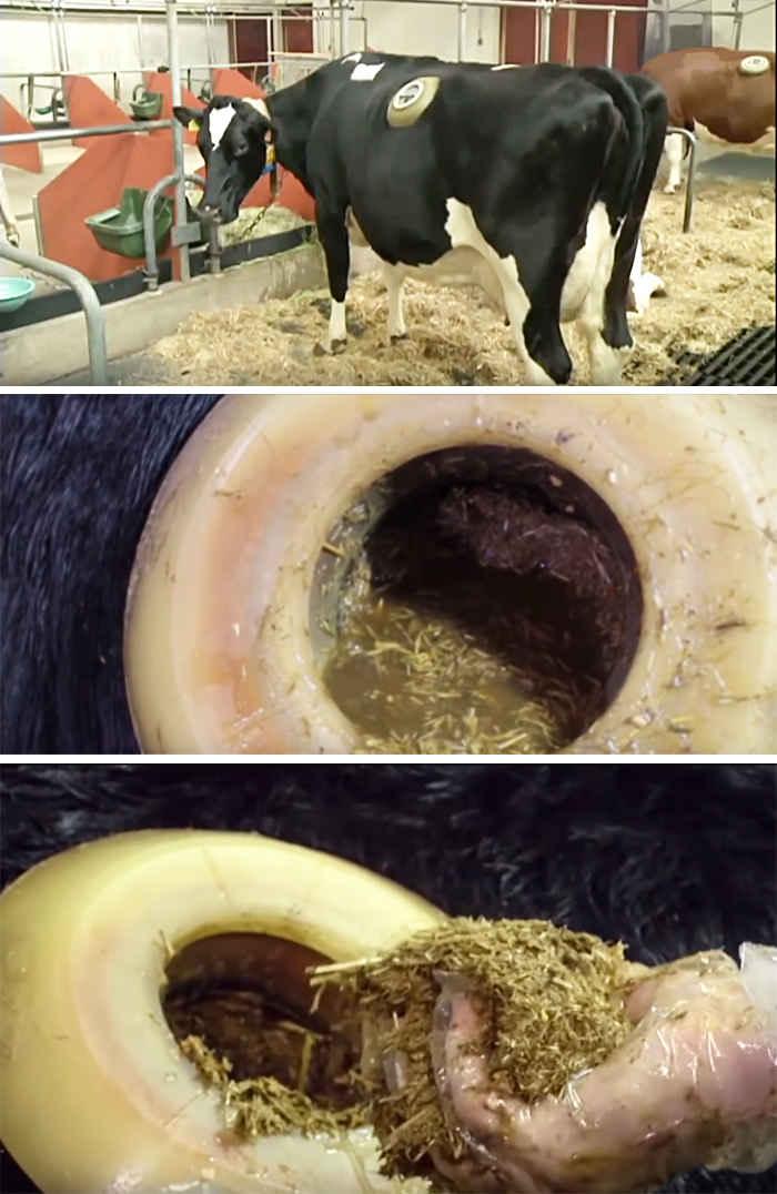 Вот почему коровам в Швейцарии в боку делают дырку