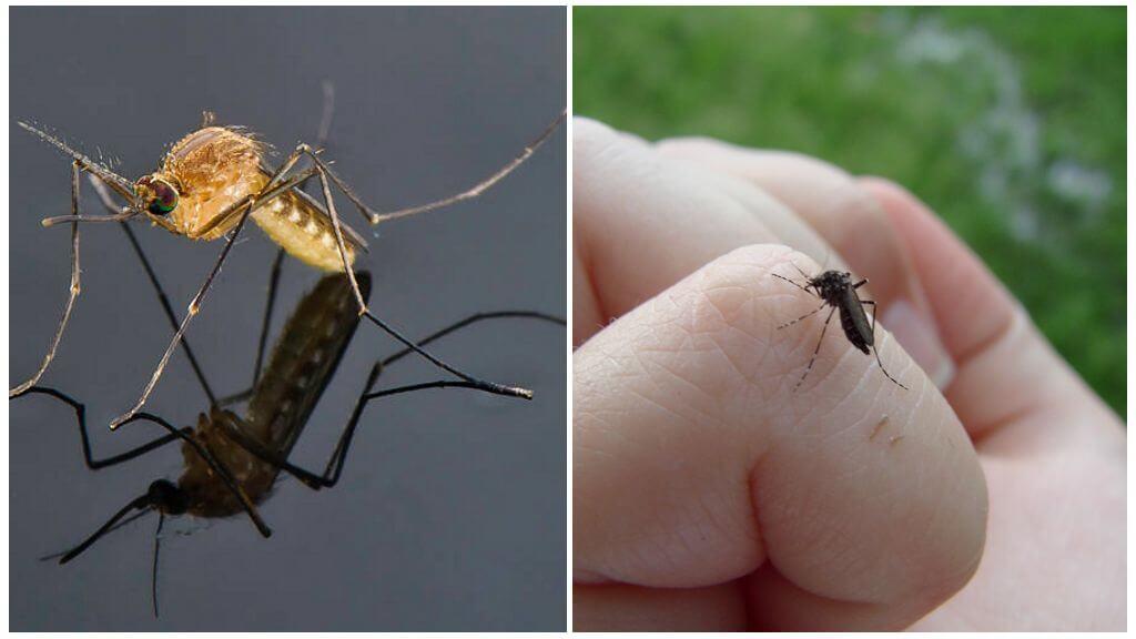ТОП-7 причин, по которым комары кусают одних людей чаще других
