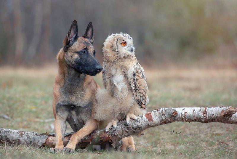 Улыбка не сходит с лица от фотографий овчарки и его подруги совы
